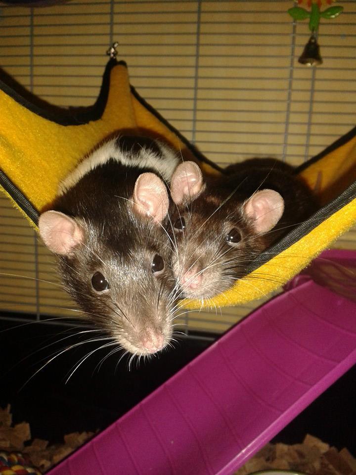 Rats 5