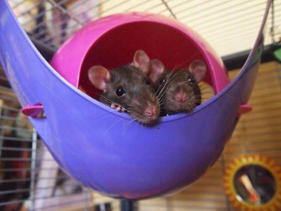 Rats 6